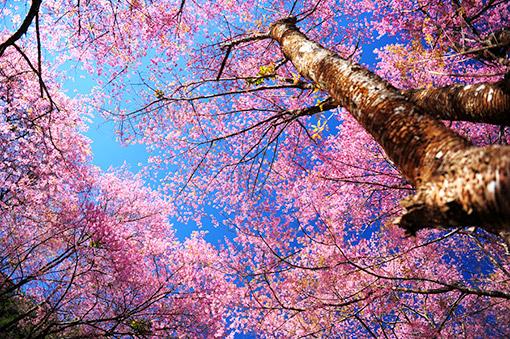 Mùa Hoa Anh Đào - Nhật Bản