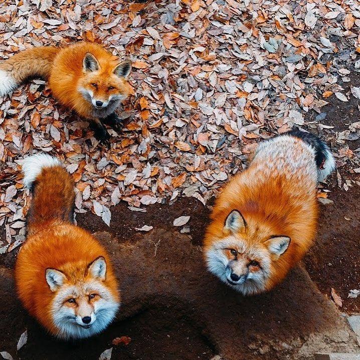 Zao Fox Village, ngôi làng sở hữu hàng trăm chú cáo béo siêu đáng yêu ở Nhật Bản