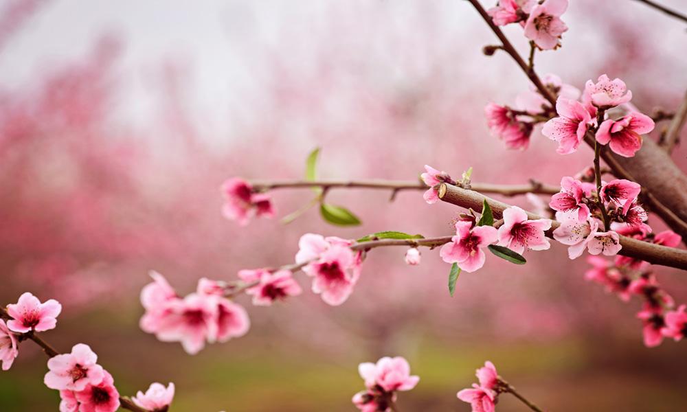 Hoa anh đào, linh hồn của đất nước Nhật